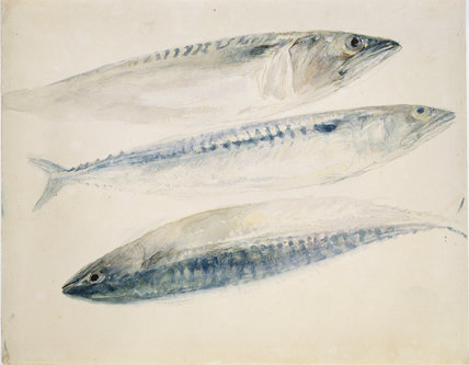 Sketch of Mackerel