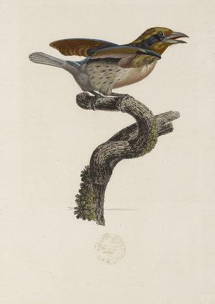 Barbu de la Guyane, Seconde Variété, c. 1806