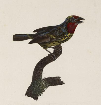Le Barbu de la Guyane, Première Variété