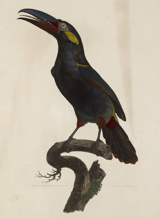 A male Guianan Toucanet