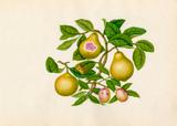 Malus prunifolia, Psidium guajava