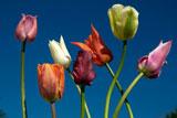 Tulipa against blue sky