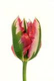 Tulipa 'Esperanto'