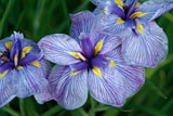 Iris ensata 'Pin Stripe'