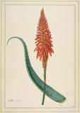 Aloe arborea