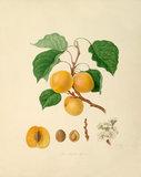 The Breda Apricot