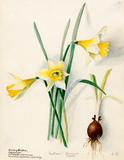 Amaryllidaceae, Narcissus