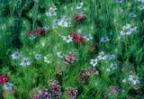 Dianthus barbatus and Nigella