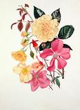 Rosa 'Buff Beauty', Rosa × odorata 'Mutabilis'