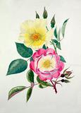 Rosa 'Golden Wings', Rosa 'Erfurt'