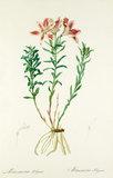 Astroemeria pelegrina