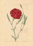 Wheatear carnation