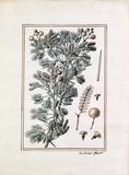 Acacia longissimis spinis alba