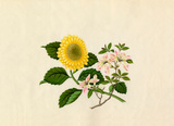 Weigela floribunda, Chrysanthemum indicum