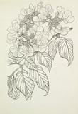 Viburnum tomentosum mariesii