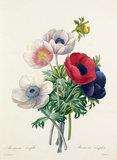 'Anemone simplex'