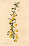 Acacia nigricans