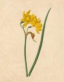 Narcissus × odorus