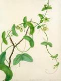 Passiflora vespertilio