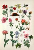 Anemone coronaria cultivars