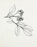 Cotoneaster laucophyllus