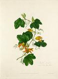 Passiflora adiantifolia