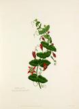 Passiflora perfoliata