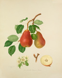 The Scarlet Bueree Pear
