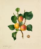 The Musch Musch Apricot