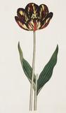 Castrum Doloris; A Bizarre Tulip