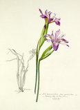 'Iris macrosiphon'