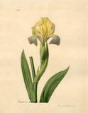 Iris sordida