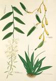 Dendrobium macraei, Dendrobium macrostachyum and Oberonia longibracteata
