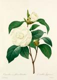 Camellia (var) fleurs blanches : Camellia Japonica