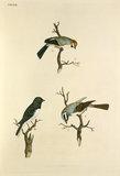 'Parus hudsonicus, Emberiza hyemalis, Emberiza leucophrys'