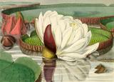 'Victoria regia (opening flower)'
