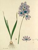 'Ixia maculata'