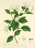 'Jasminum gracile'