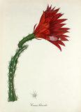 'Cereus schrankii'