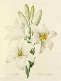 Le Lys blanc : Lilium candidum