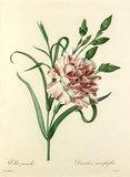 Oeillet panaché : Dianthus cariophyllus