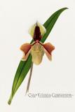 'Cypm. Villosum Caseyanum'