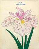 Iris Uji-No-Kawagiri