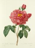 Rosa Gallica Aurelianensis : La Duchesse d'Orléans