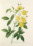 Rosier de Bancks Var. à fleurs jaunes