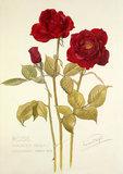 Rose 'Hoosier Beauty'
