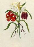 'Scarlet Martagon, Cluster Snowdrop, Purple Fritillaria'
