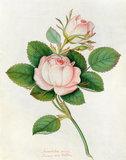'Blush Provence rose'