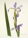 'Iris longipetala superba'