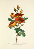 Austrian Rose